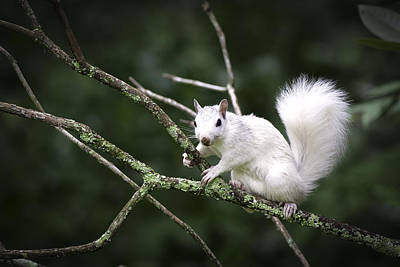 White Squirrel On Branch Poster