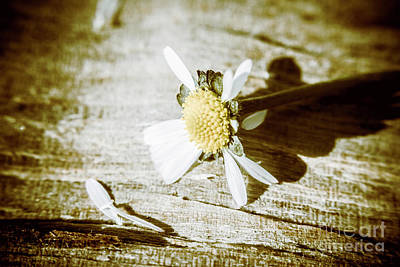 White Summer Daisy Denuded Of Its Petals Poster