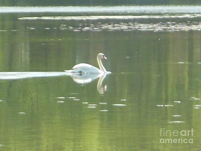 White Swan Silhouette Poster