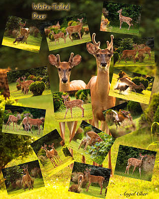 Poster featuring the photograph White-tailed Collage by Angel Cher