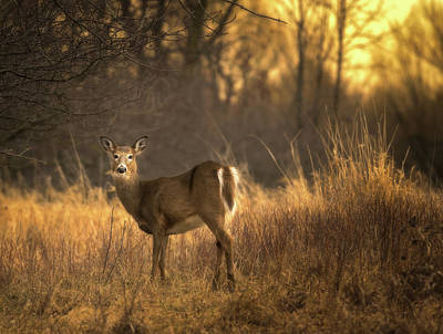 White-tailed Deer At Sunset Poster