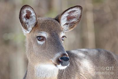 White-tailed Deer - Cerf De Virginie Poster
