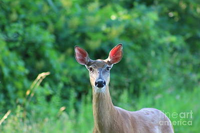 White-tailed Deer Close Encounter  Poster by Neal Eslinger