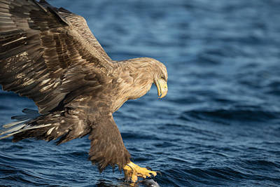 White-tailed Eagle Hunting Poster by Andy Astbury