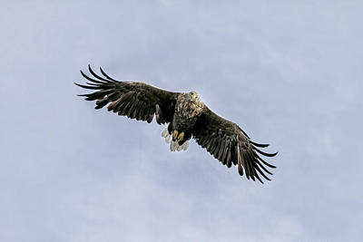 White Tailed Eagle Soaring Above Mull Scotland Poster