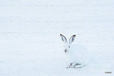 White-tailed Jack Rabbit  Poster