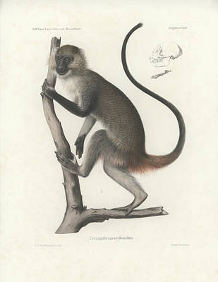 White Throated Guenon, Cercopithecus Albogularis Erythrarchus Poster