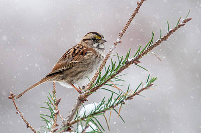 White Throated Sparrow Poster