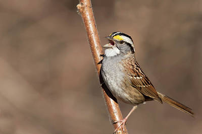 Poster featuring the photograph White-throated Sparrow by Mircea Costina Photography