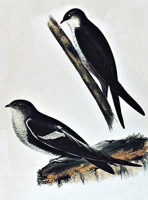 White Throated Swift Bird Poster