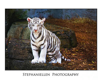 White Tiger Cub Poster by Stephanie Hayes