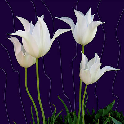White Tulips For A New Age Poster