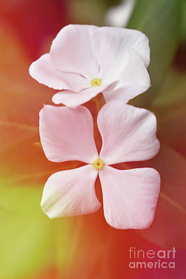 White Vinca With Vivid Highligts  Poster