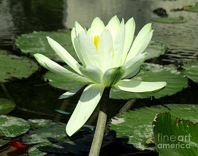 Poster featuring the photograph White Water Lily 1 by Randall Weidner