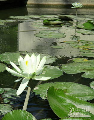 Poster featuring the photograph White Water Lily 3 by Randall Weidner