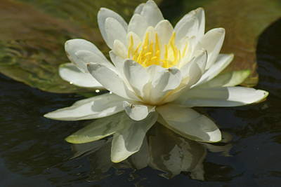 Poster featuring the photograph White Water Lily by Ron Read