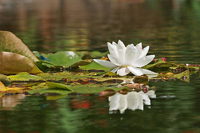 White Water Lily With Damselflies Poster by Gill Billington