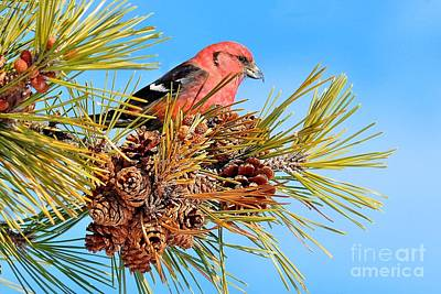 Poster featuring the photograph White-winged Crossbill by Debbie Stahre
