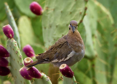 White Winged Dove On Prickly Pear  Poster
