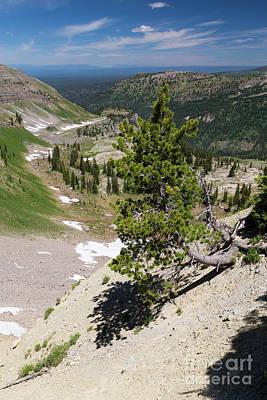 Whitebark Pine On Mountain Ridge Poster by Mike Cavaroc