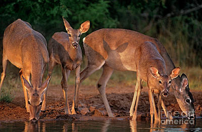 Poster featuring the photograph Whitetail Deer At Waterhole Texas by Dave Welling