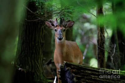 Whitetail Deer With Velvet Antlers In Woods Poster by Dan Friend
