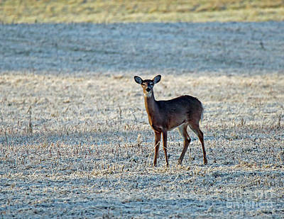 Whitetail Doe Frosty Morning Poster