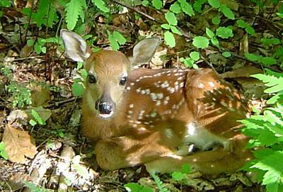Whitetail Fawn II Poster