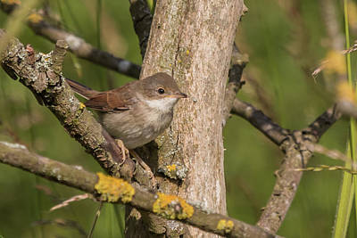 Whitethroat Poster