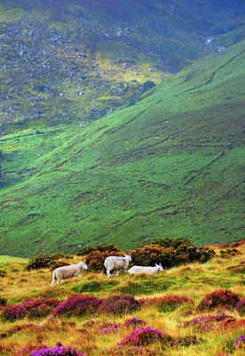 Poster featuring the photograph Wicklow Pastoral by Jenny Rainbow