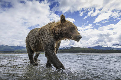 Wide Angle View Of Coastal Brown Bear Poster by Paul Souders