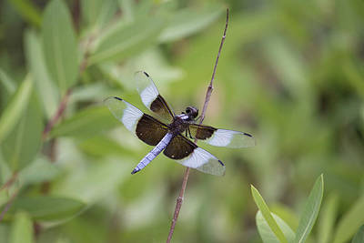 Widow Skimmer Male Dragonfly.  Poster