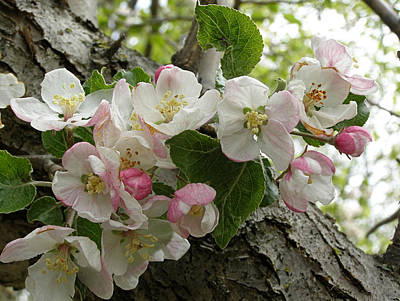 Poster featuring the photograph Wild Apple Blossoms by Angie Rea