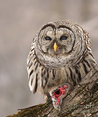 Wild Barred Owl With Prey Poster