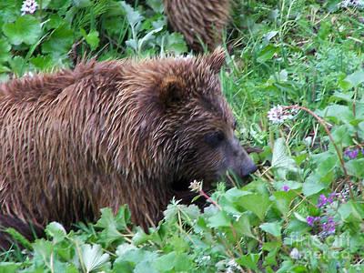 Wild Bear Eating Berries  Poster