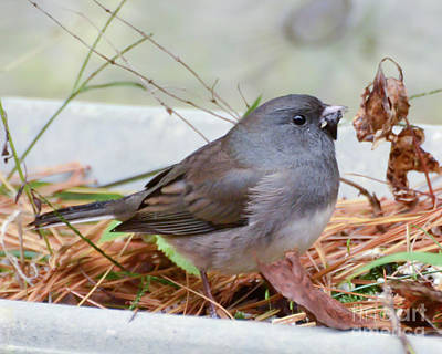 Poster featuring the photograph Wild Birds - Dark-eyed Junco by Kerri Farley