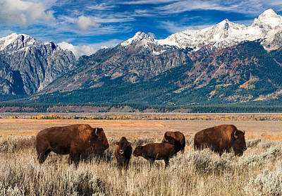 Wild Bison On The Open Range Poster