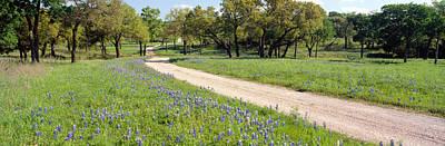 Wild Blue Bonnets, Spring In Rural Texas Poster by Panoramic Images