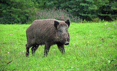 Wild Boar. Poster