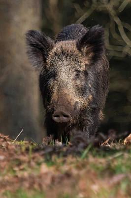 Wild Boar Sow Portrait Poster
