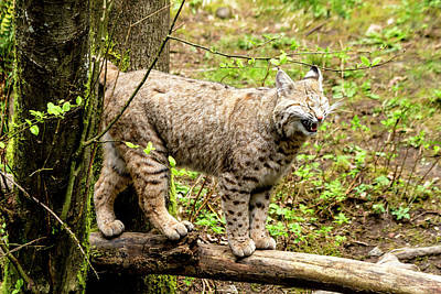 Wild Bobcat In Mountain Setting Poster