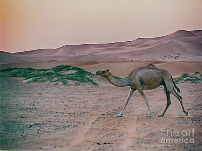 Poster featuring the photograph Wild Camel by Charles McKelroy
