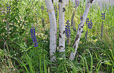 Wild Center Birches Poster
