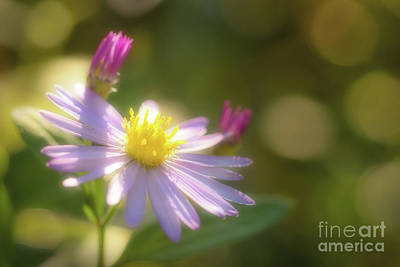 Wild Chrysanthemum Poster