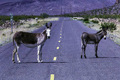 Wild Donkeys On Road To Oatman Poster