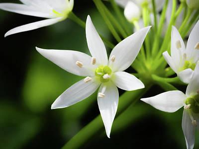 Wild Garlic Flower Poster