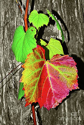 Poster featuring the photograph Wild Grape Vine By Kaye Menner by Kaye Menner