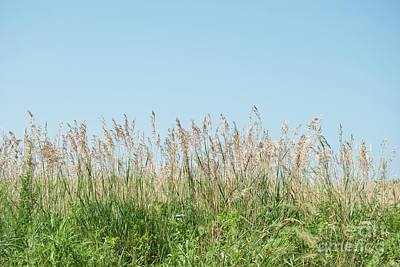 Wild Grass Poster by Pamela Williams