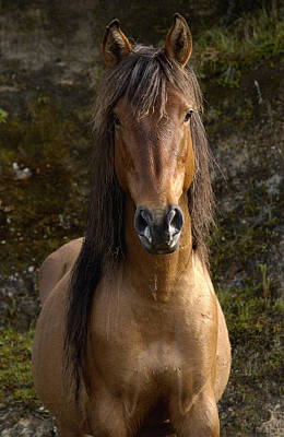Wild Horse Equus Caballus In Open Poster by Pete Oxford