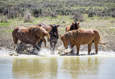 Wild Mustang Stallions Playing In The Water - Sand Wash Basin Poster